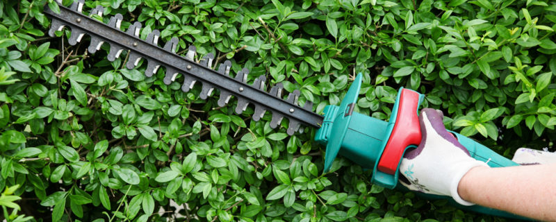 Trimming garden hedge